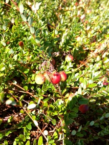 early summer- ripening cranberries