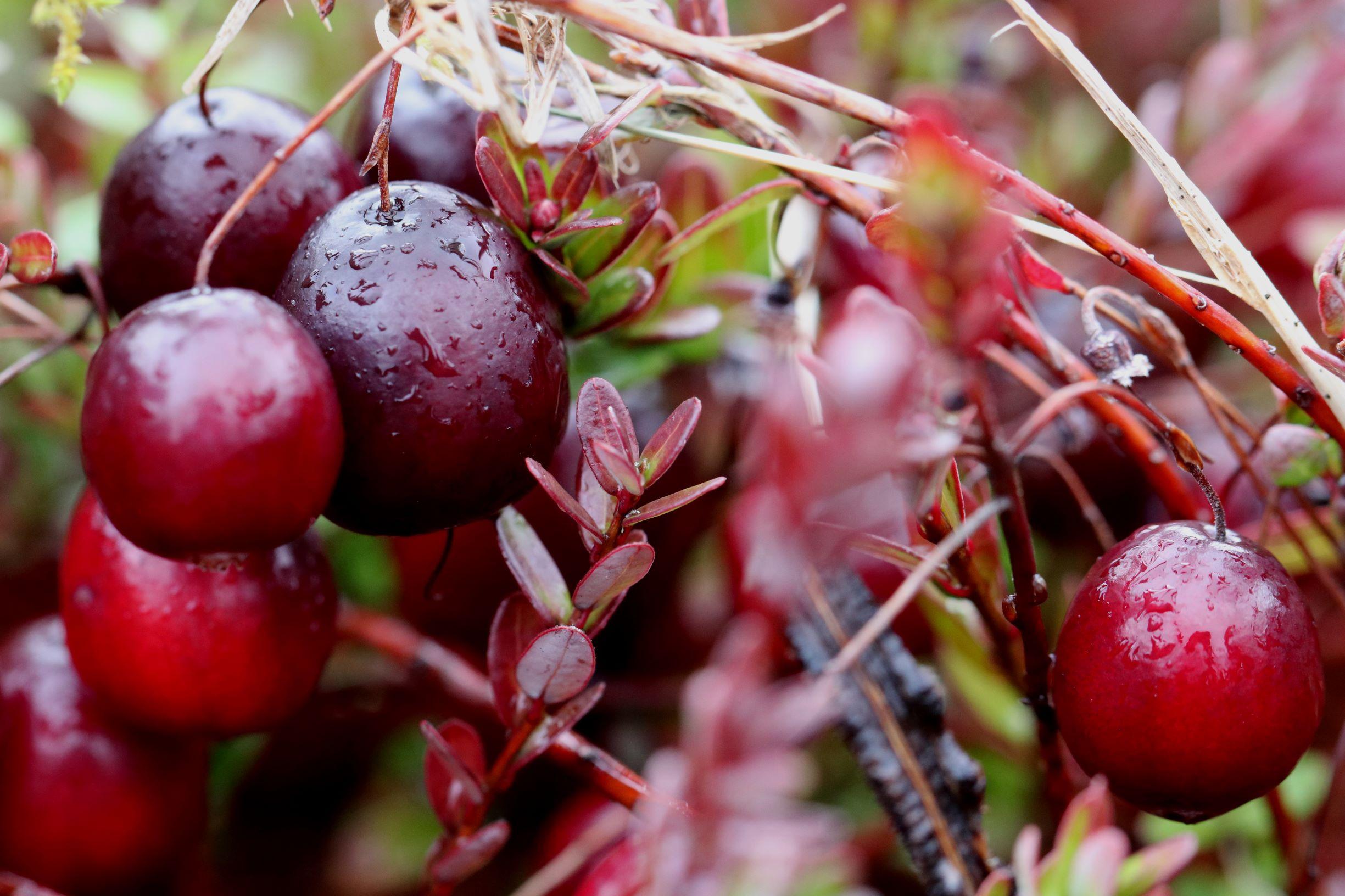 cranberry ripe on vine